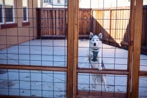 Dog Looking through a fence of a recently redesigned backyard